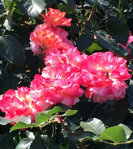春バラ-10.jpg
