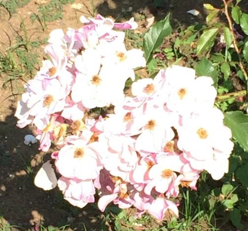 春バラ-14.jpg
