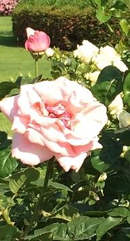 春バラ-16.jpg