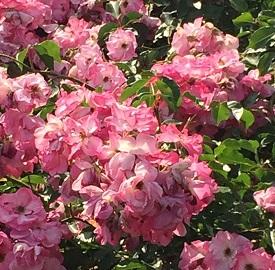 春バラ-21.jpg