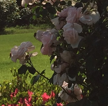 春バラ-22.jpg