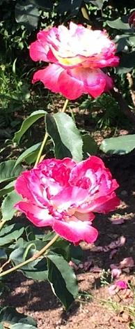 春バラ-9.jpg