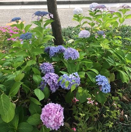 村紫陽花1.jpg