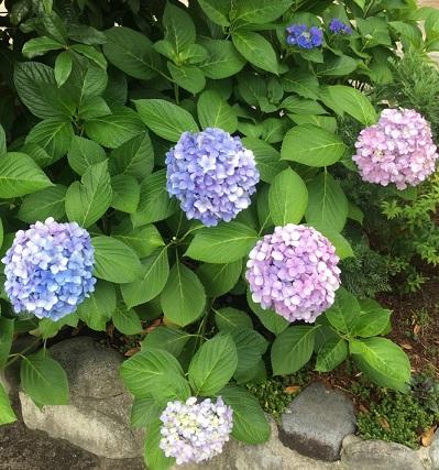 村紫陽花3.jpg