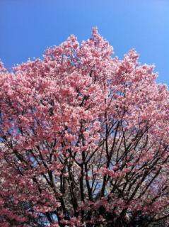 桜-10_01.JPG