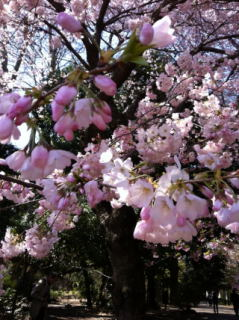 桜-4_01.JPG