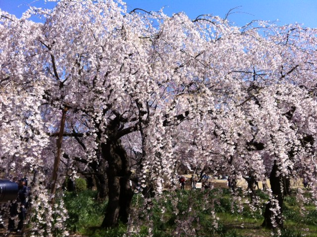 桜-6.JPG