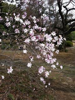 桜じゃない2013.JPG