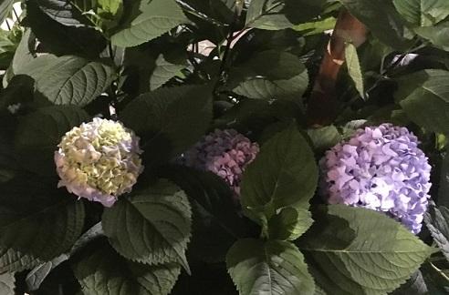紫陽花3.jpg
