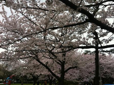 近所の桜2013-2.JPG