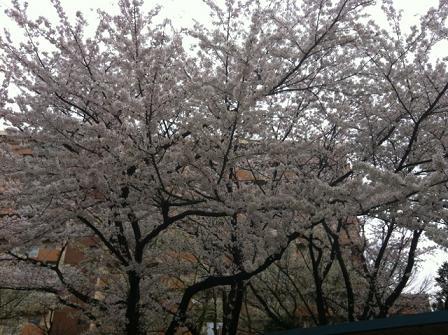 近所の桜2013-5.JPG