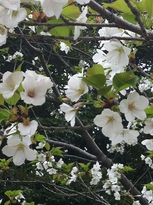 近所の桜2013-6.JPG