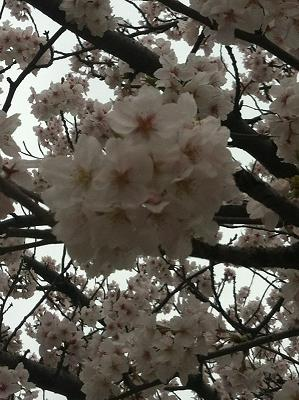 近所の桜2013-7.JPG