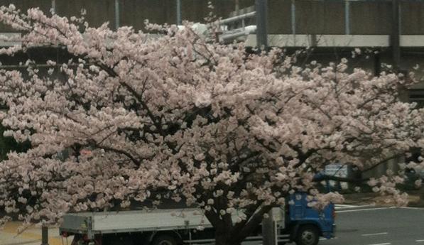 近所の桜2013.JPG